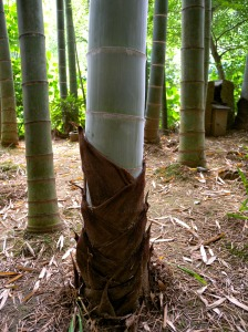 Newly grown bamboo